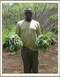 James mbuthia with uprooted bhang