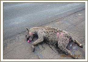 A hyaena carcass along the Mombasa highway