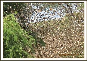 Flock of quelea seen at Tiva river area