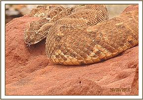 A gigantic puff adder spotted hunting