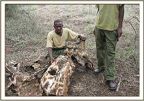 Remains of a poached giraffe