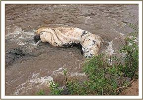 A hippos carcass in the water