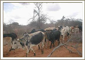 Cattle grazing in the park an increasing problem