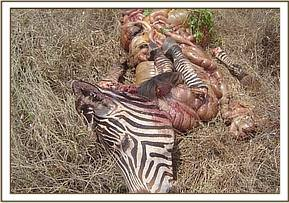 Remains of zebra after the poacher fled with meat