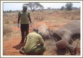 Assisting in the treatment of a wounded elephant