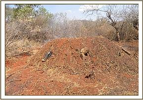 Illegal Charcoal burning near Manyani