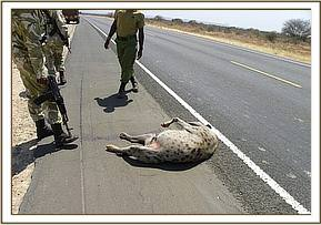 A spotted hyena killed by vehicles on the highway