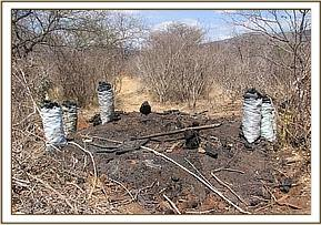 Illegal charcoal burning at Mbulia Ranch
