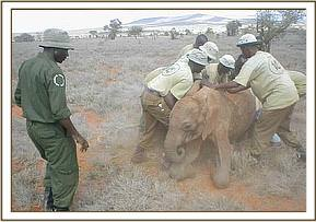 The calf is captured by its rescuers
