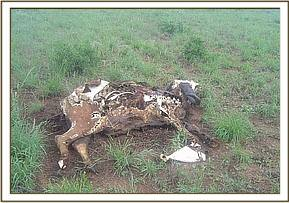 A buffalo carcass at taita wildlife santuary