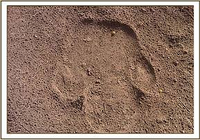 Rhino footprints seen during our operations