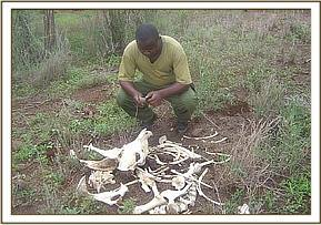 Nicodemus taking GPS co-odidate of zebra carcass