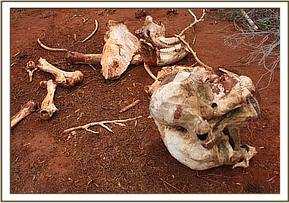 Remains of an elephant