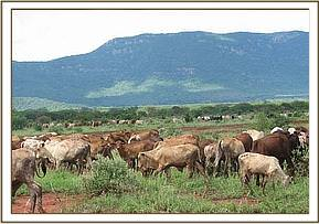 Cattle grazing at ngutuni ranch