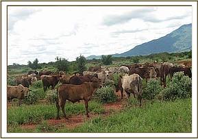 Cattle grazing at ngutuni