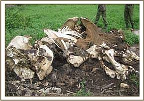 Elephant carcass at kimana sanctuary
