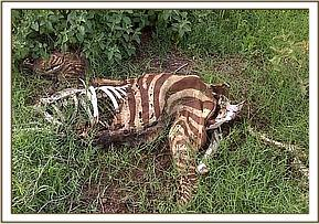 Dead zebra at kimana sanctuary