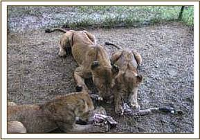 Feeding lions at kimana sanctuary