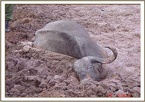 The buffalo stuck in the mud