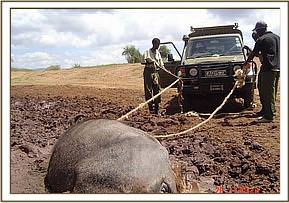 Working to free the buffalo