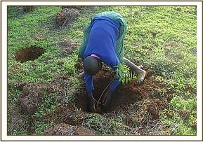 A student planting a tree seedling