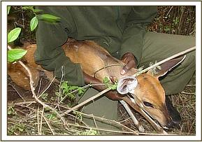 Rescuing a snared bush buck