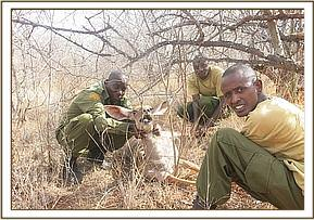 Team members rescuing lesser-kudu from a snare