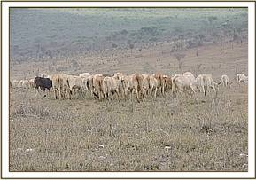 Livestock grazing at Taita Hills Sanctuary