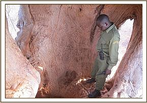 Poacher's hideout inside a baobab tree