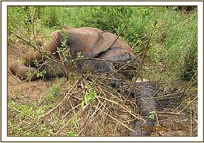 The carcass of a recently poached elephant