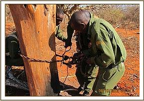 Removing a large cable snare targeting elephant