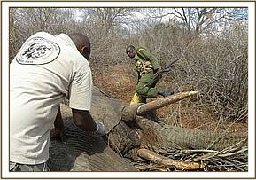 Assisting the Tsavo Vet Unit to treat an elephant