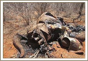 The carcass of a poached elephant