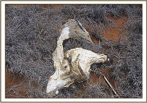 Remains of Eland at Sagala ranch