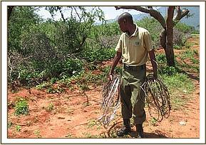 A desnaring team member with lifted snares