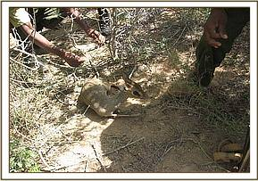 The dikdik after the snare is removed