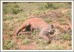 A young elephant killed by a big snare