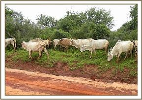Somali owned cattle inside the Triangle