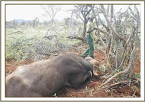 A snared buffalo before being revived