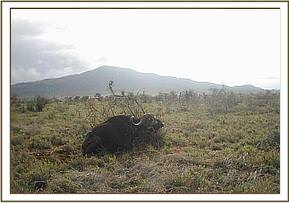 One of the snared buffaloes found by the team