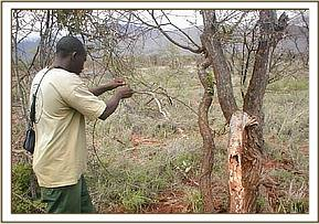 A member of the Burra team removing a snare
