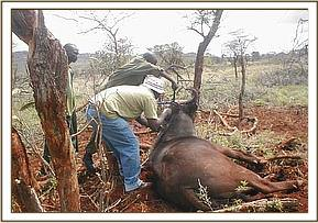 The vet & bura team rescuing a snared buffalo