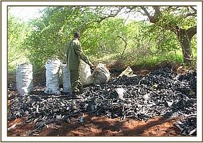 Charcoal burning at Sagalla