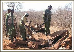 An elephant carcass found at Mbulia Ranch