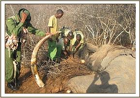 The Team removes the tusks and hands over to KWS