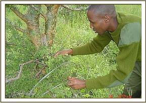 A team member removes a large snare