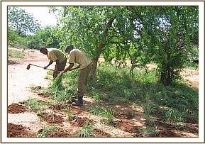 The team planting grass at the Ithumba camp