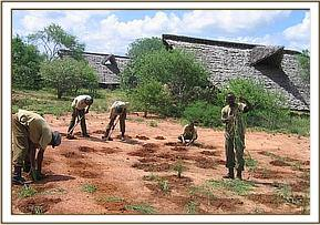 The Ithumba team planting grass at Ithumba camp