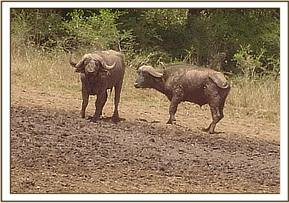Buffalos wallowing in a mud wallow
