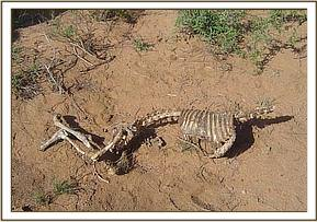 Remains of a Gerenuk